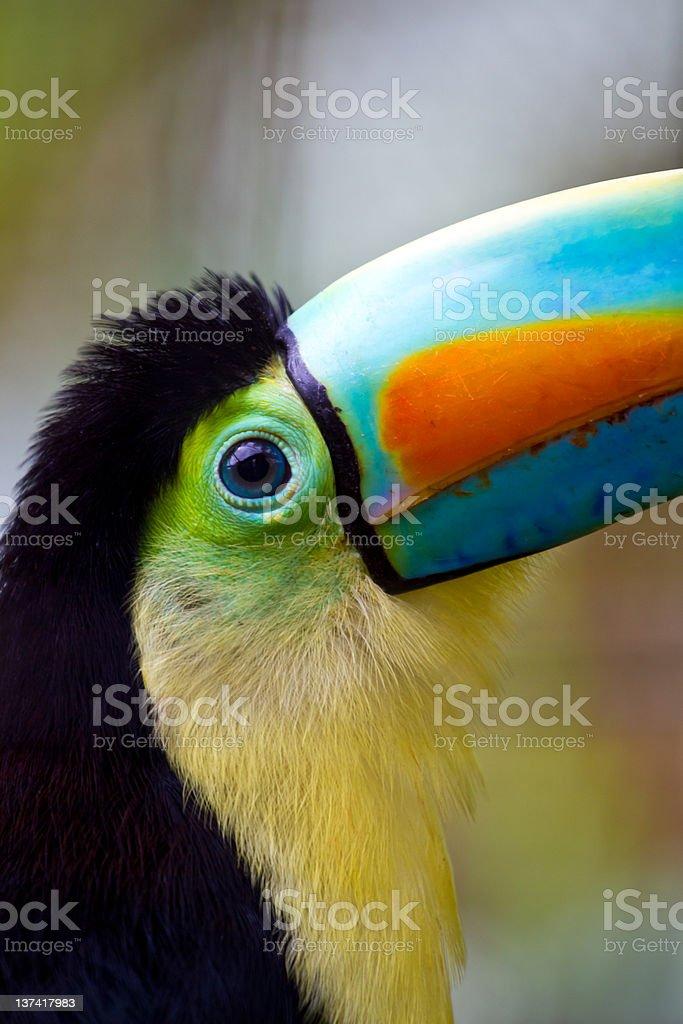 toucan eye royalty-free stock photo