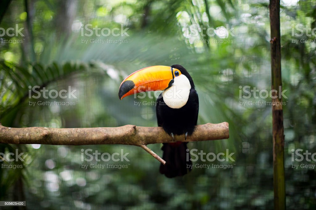 Toucan on the branch stock photo