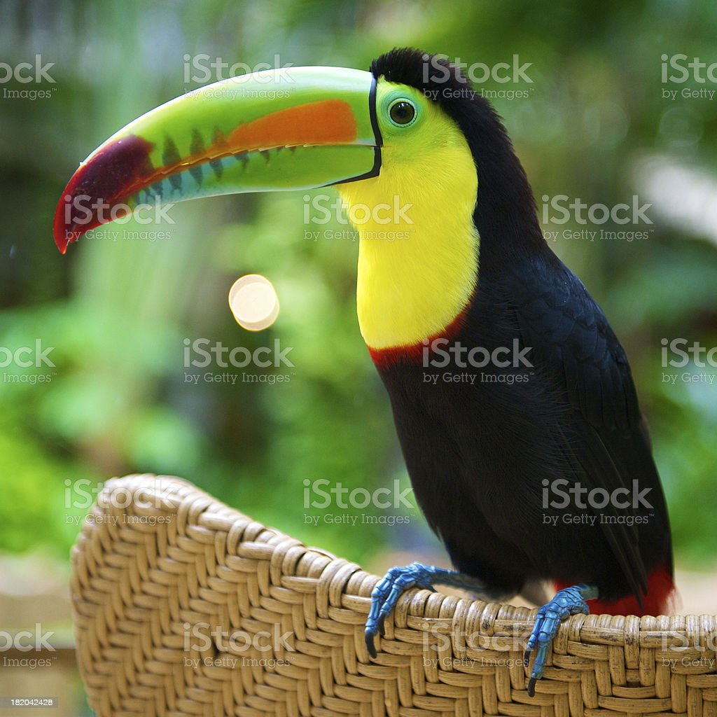 Toucan Standing stock photo