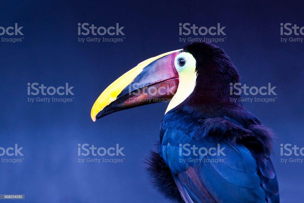 Toucan tocard - Ramphastos ambiguus stock photo