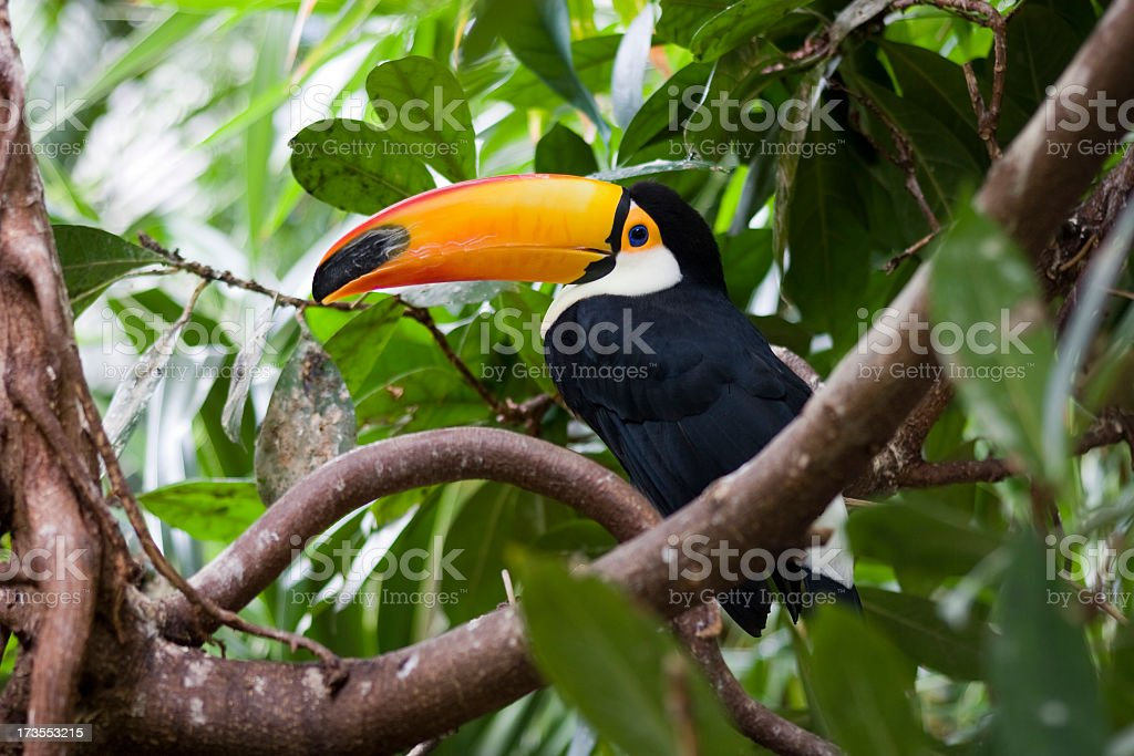 Toucan with a big yellowish orange beak on a tree branch stock photo