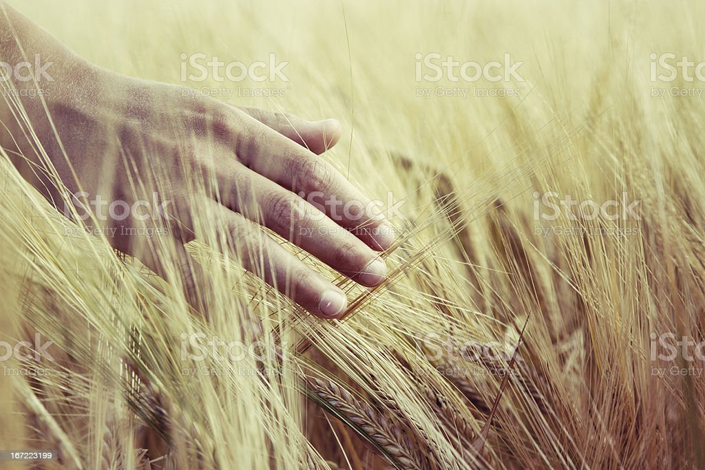 Touching barley royalty-free stock photo