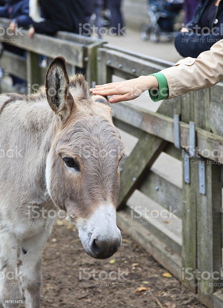 touching donkey royalty-free stock photo