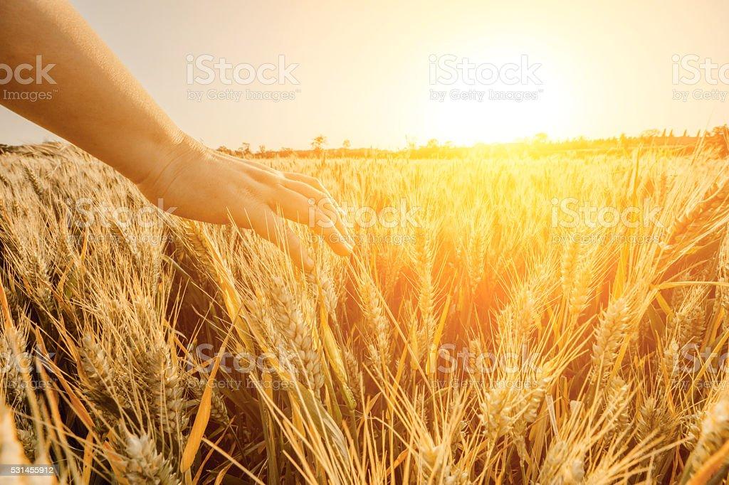 touching golden heads of wheat stock photo