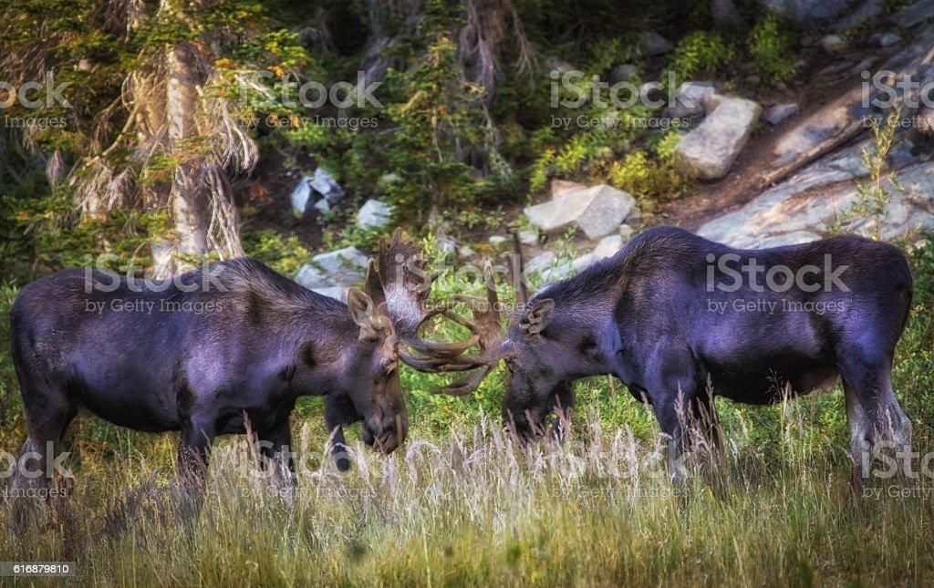 Touching Horns stock photo