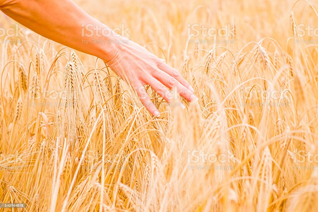 Touching The Harvest, Hand in a field stock photo