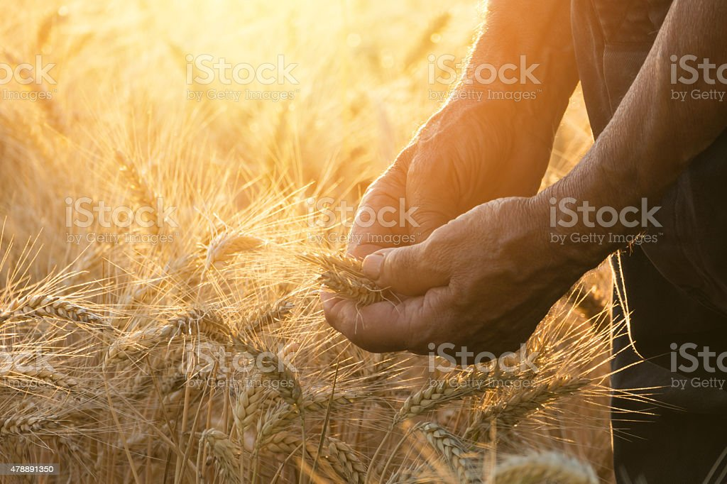 Touching the harvest stock photo