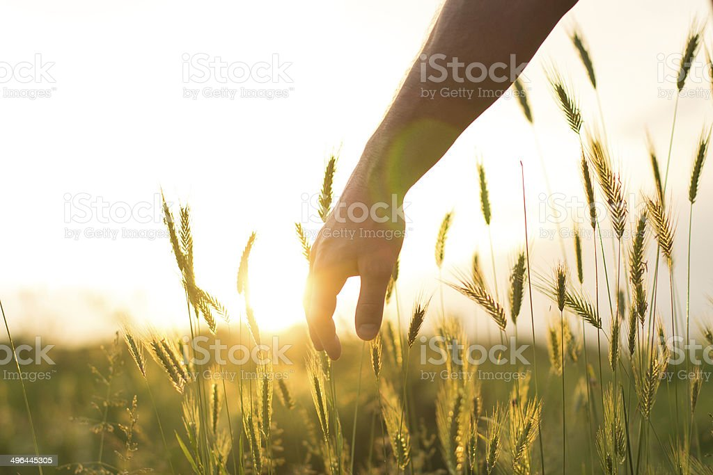 Touching the harvest royalty-free stock photo