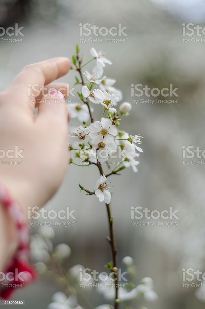 Touching the plum blossom close-up stock photo