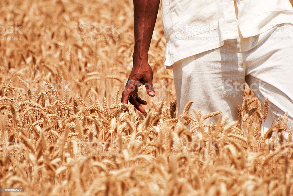 Touching the wheat royalty-free stock photo