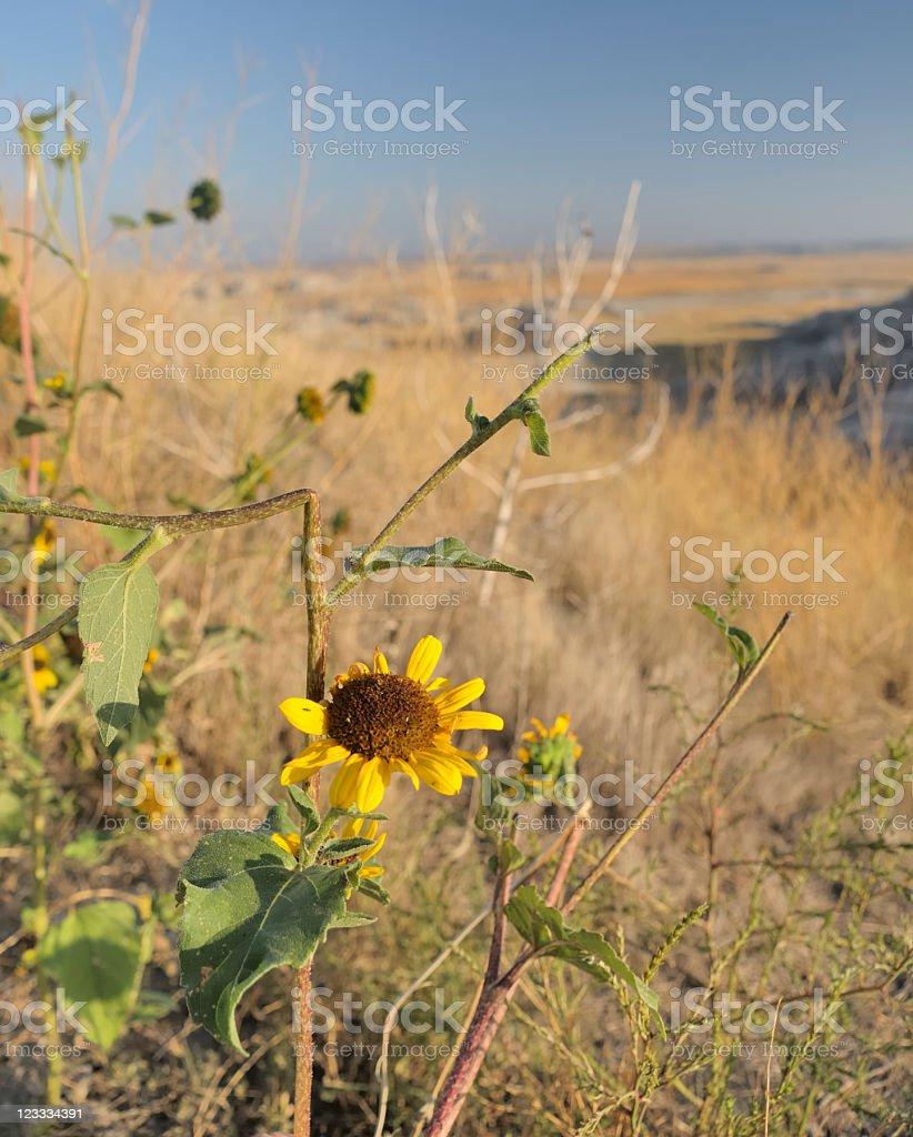 Tough Sunflower, Badlands stock photo