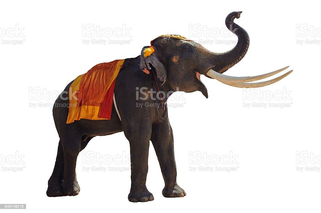 tourism elephant tourism elephants ayutthaya isolate white background stock photo