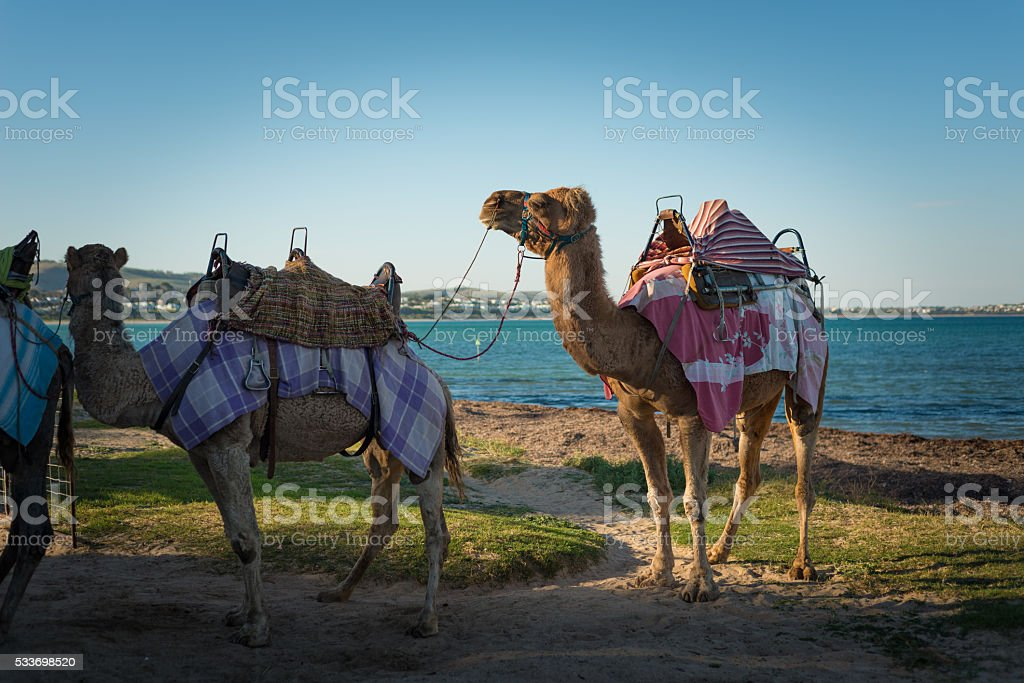 Tourist attraction camel ride at the beach stock photo
