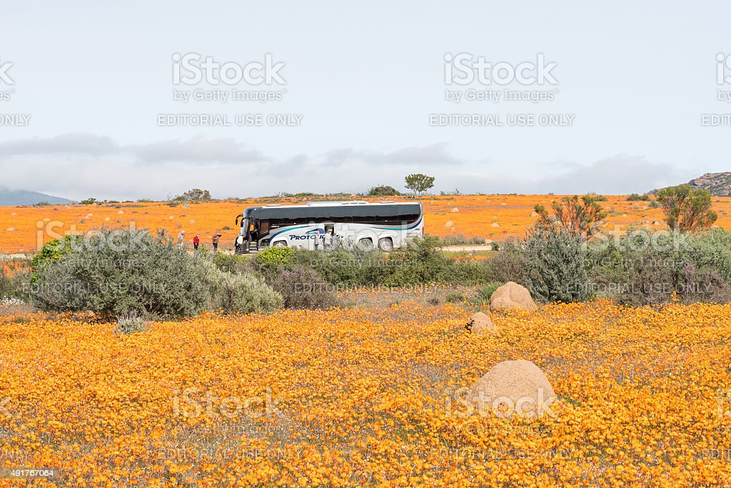 Tourist bus between flowers at Skilpad stock photo