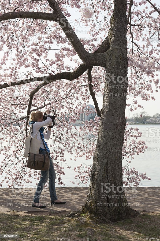 tourist is looking at the cherry blossoms, tidal basin, washington stock photo