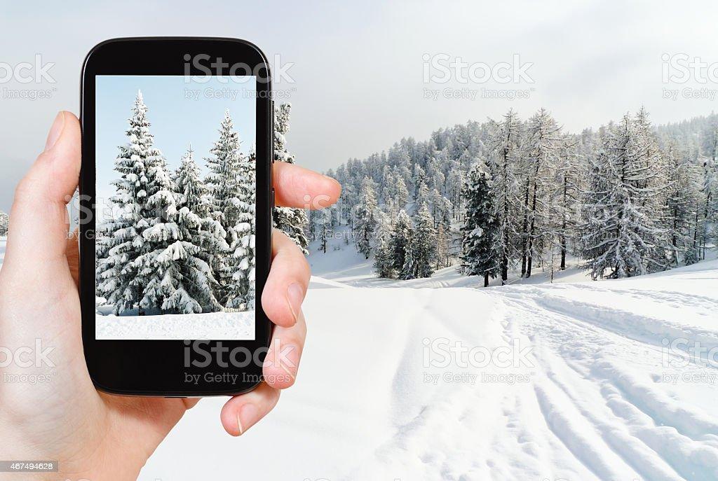tourist taking photo of snowbound fir trees stock photo