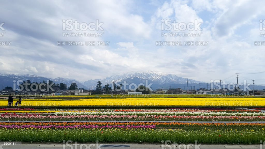 Tourist visiting tulip fields in the tulip festival stock photo