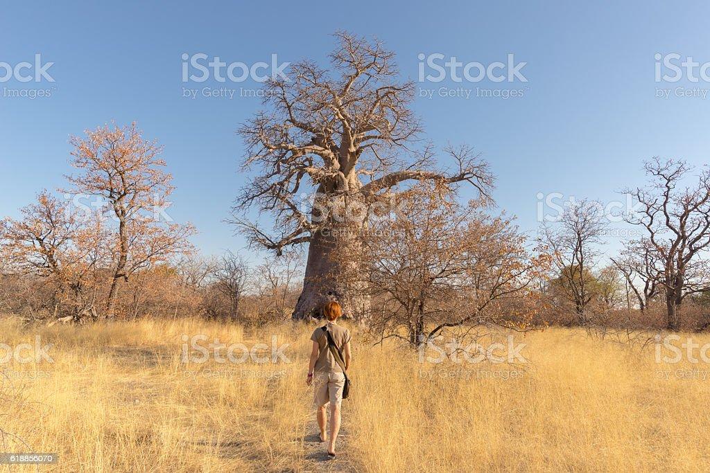 Tourist walking in the african savannah towards baobab tree stock photo