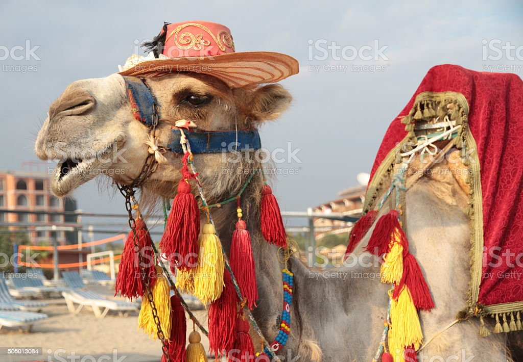 Touristic camel stock photo