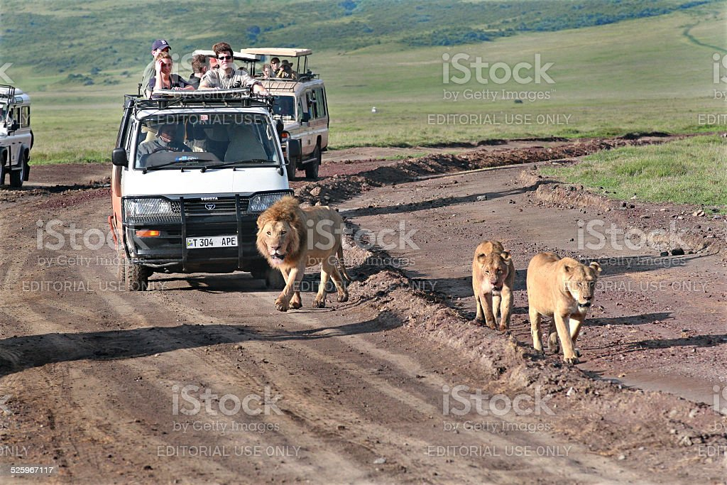 Tourists at jeeps, watching savage African lions in the wild. stock photo