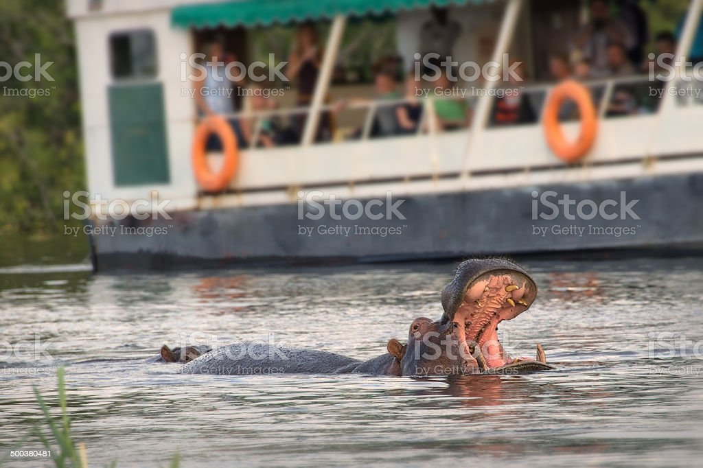 Tourists observing an hippo on the Zambeze river, Zambia stock photo