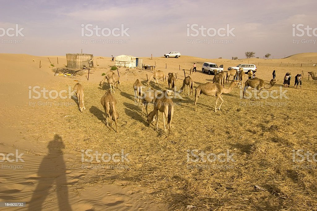 Tourists on a camelfarm stock photo