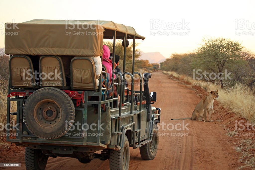 Tourists on Safari Jeep Watching Lion in Namibia Africa stock photo