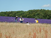 tourists photographing lavender fields
