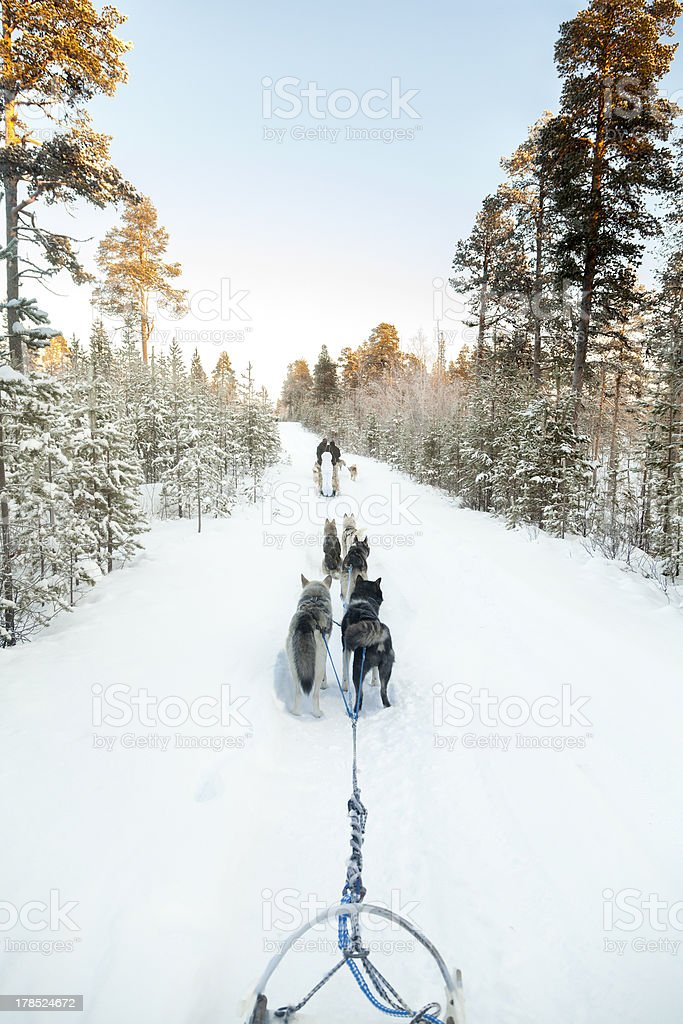 Tourists running a dogsled in Lapland royalty-free stock photo