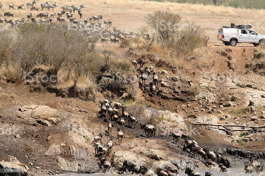 Tourists watch wildebeest crossing river royalty-free stock photo