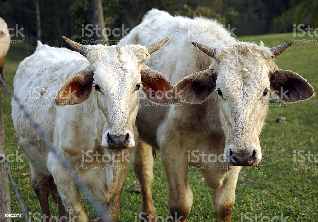 Tow cows royalty-free stock photo