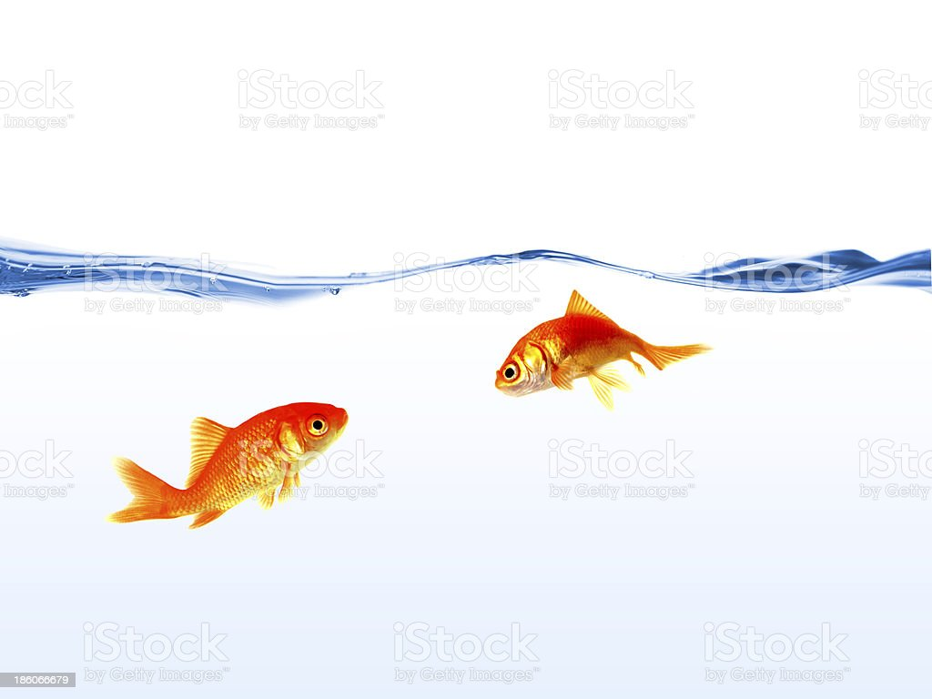 tow gold fishs on water isolated stock photo