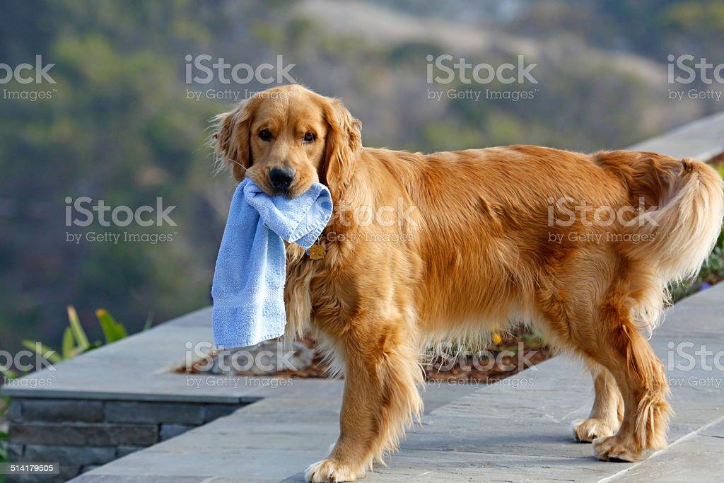 Towel Dog royalty-free stock photo