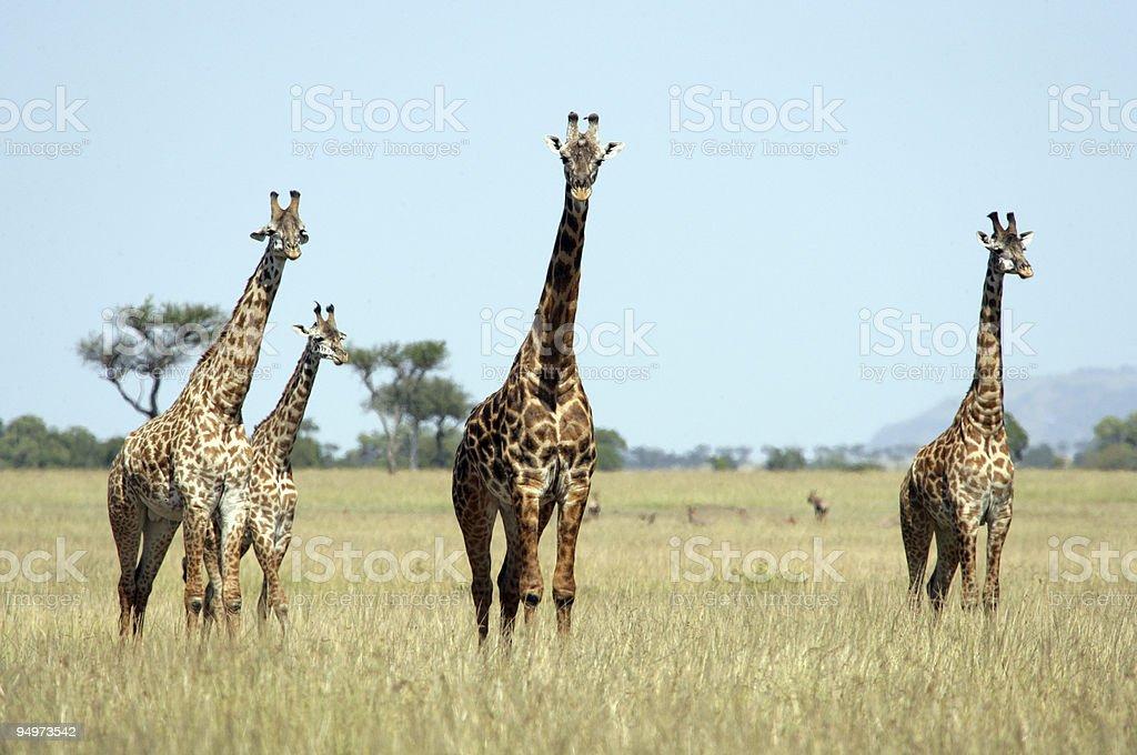 Tower of Giraffe stock photo
