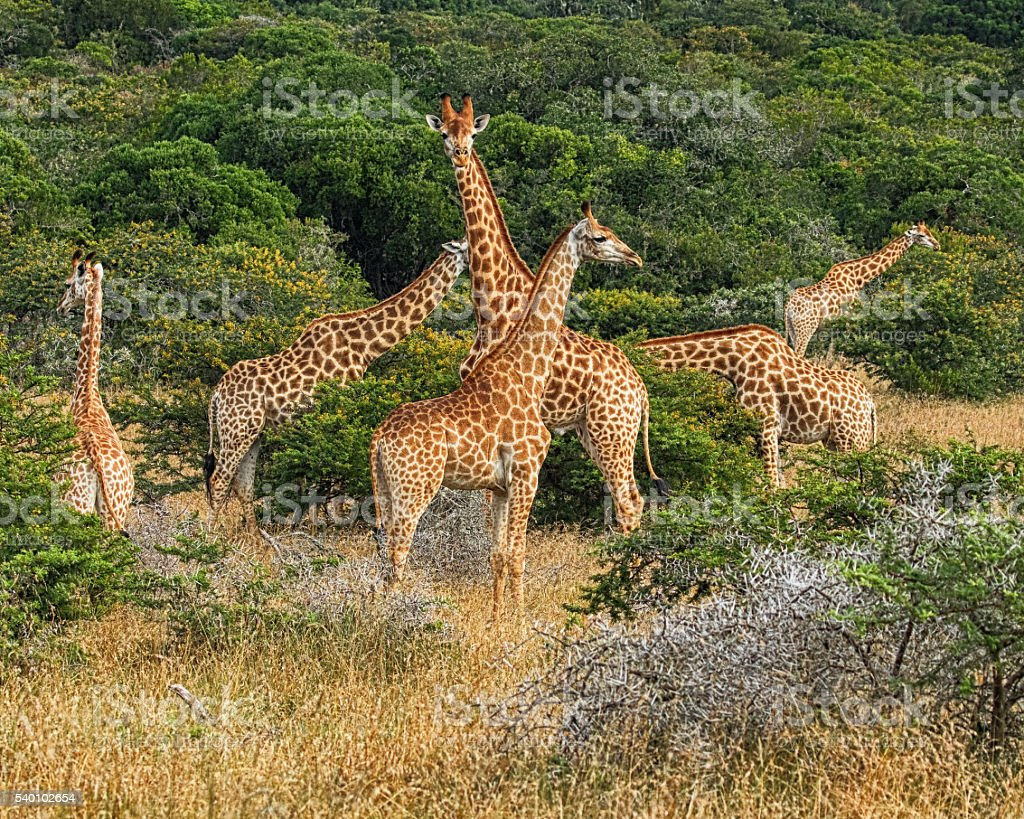 Tower Of Giraffes (Giraffa camelopardalis) Feeding stock photo