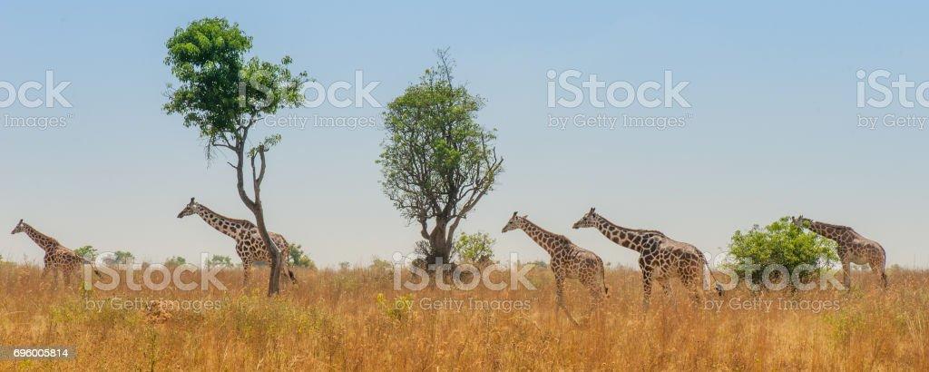 Tower of Giraffes stock photo