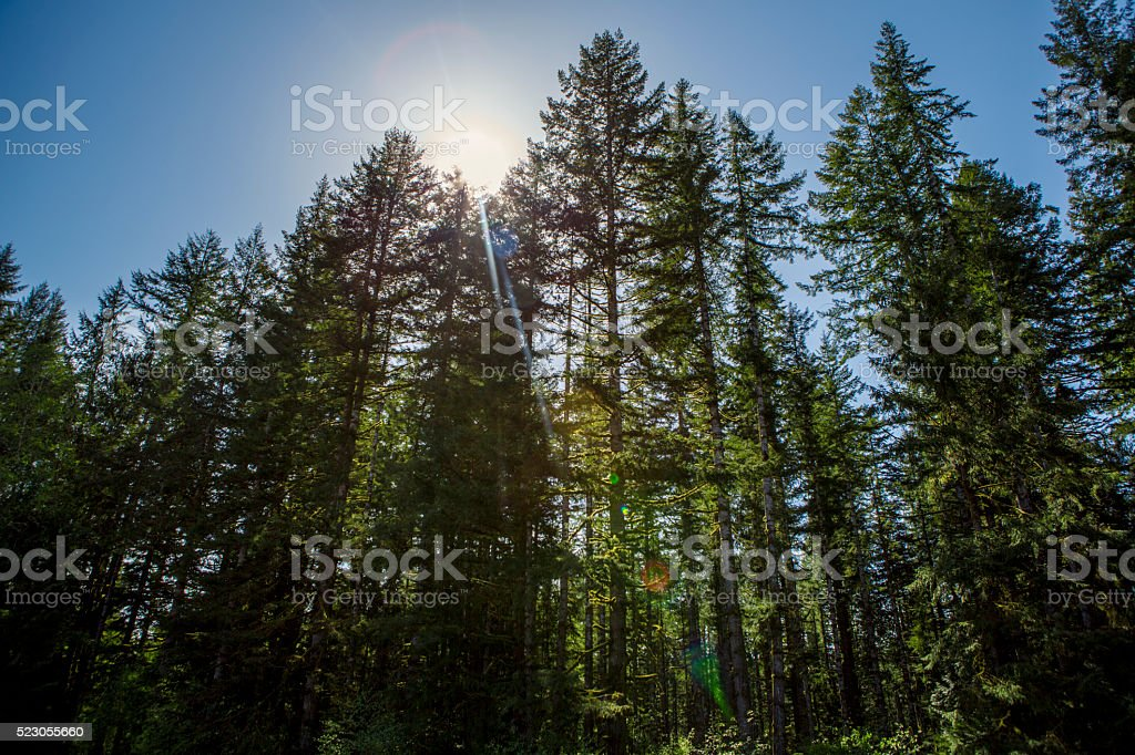 Towering Green Fir Forest stock photo
