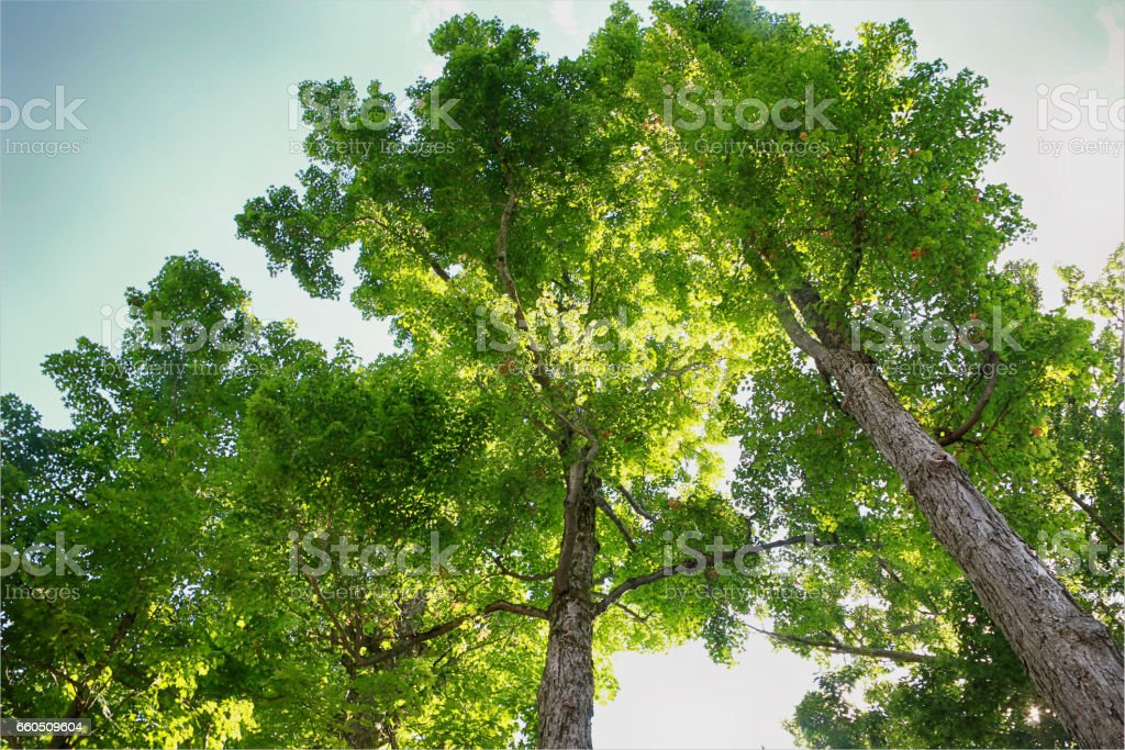 Towering Maple Trees stock photo
