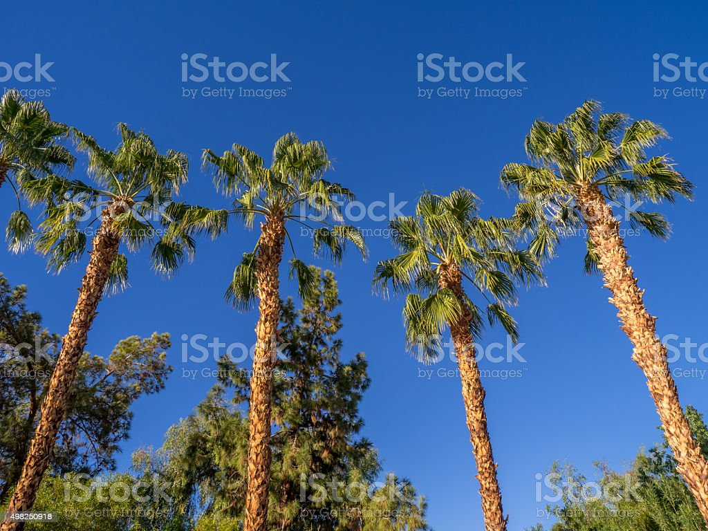 Towering Palm Trees stock photo