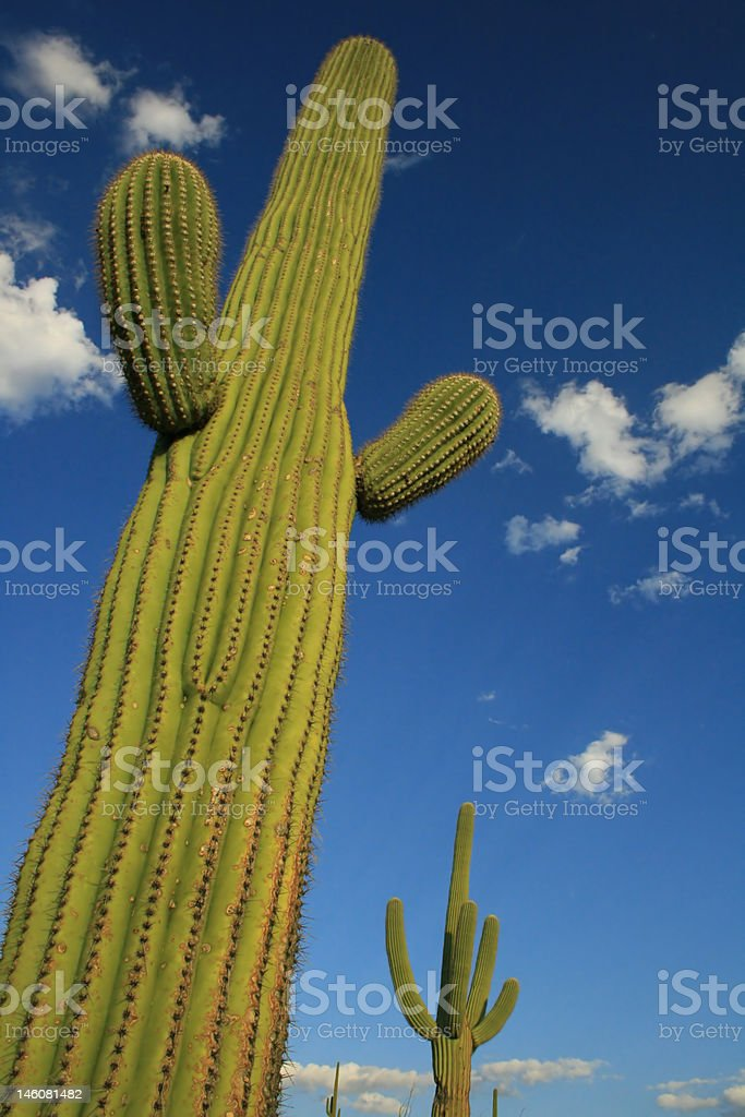 Towering Saguaro Cactus royalty-free stock photo