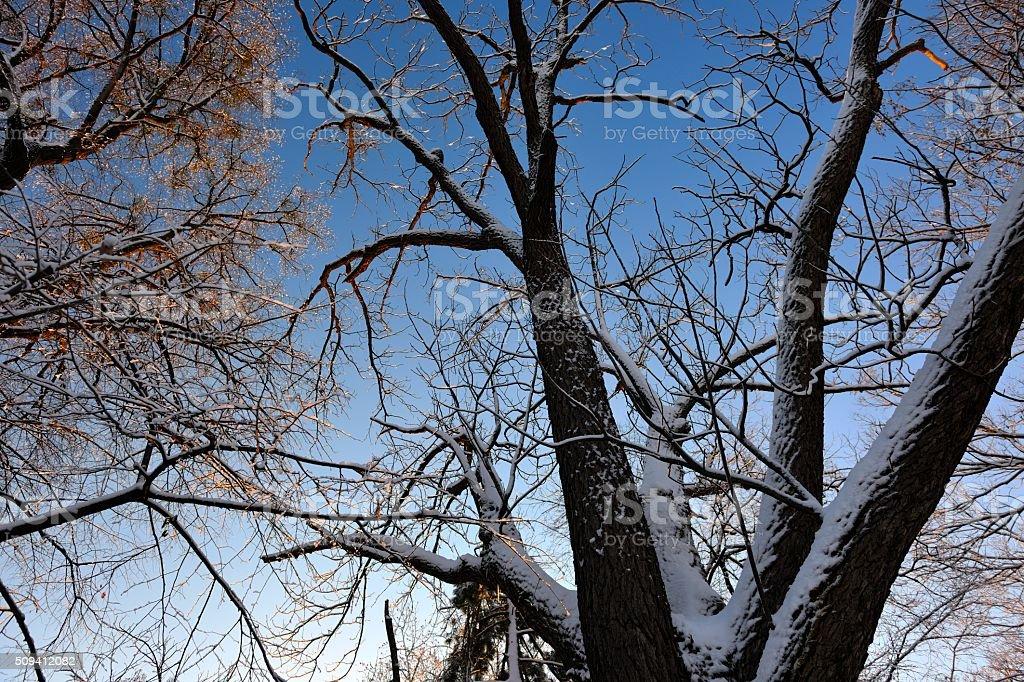 Towering Snowy Walnut Tree stock photo