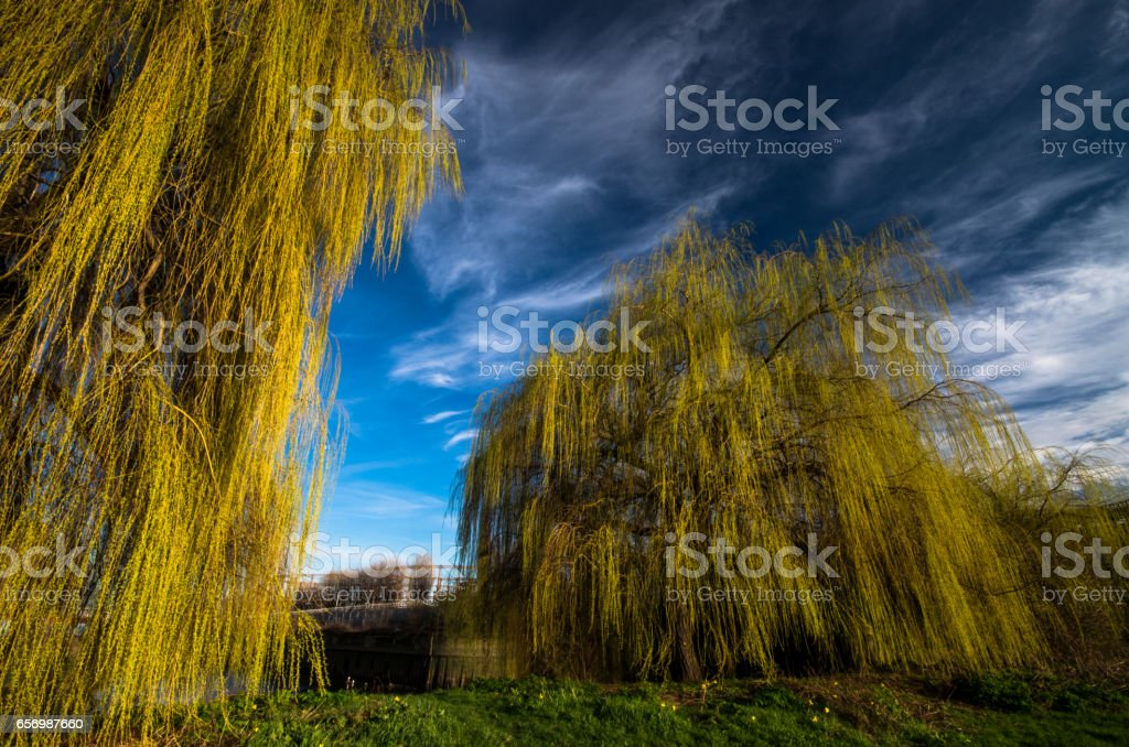Towering weeping willow trees along the Canal Lea in London stock photo