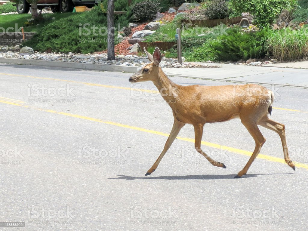 'Townie' deer crossing a road in a Durango, Colorado neighborhood stock photo