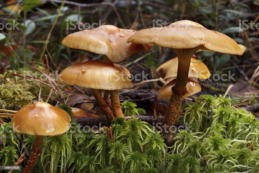 Toxic mushrooms royalty-free stock photo