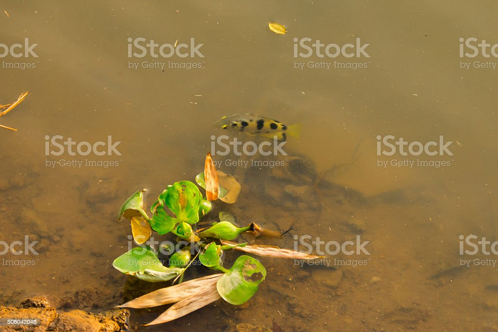 Toxotes chatareus and Eichhornia crassipes under water. stock photo