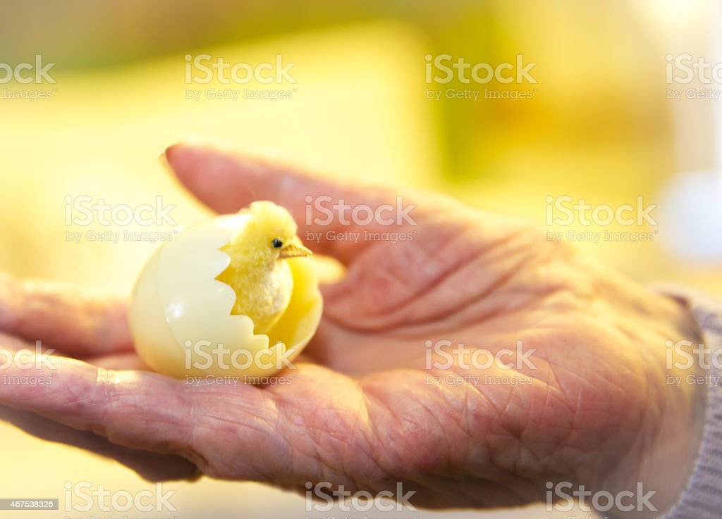 Toy chick hatching from shell placed on an elderly hand stock photo