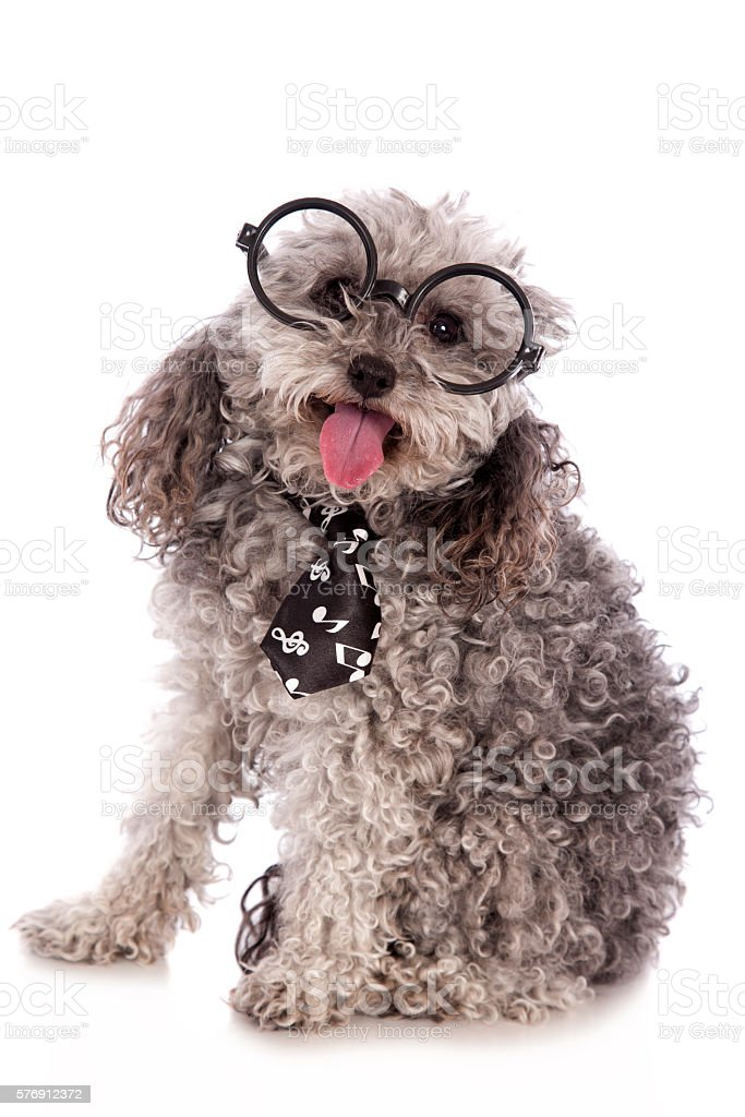 Toy Poodle In Glasses stock photo