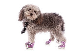 Toy Poodle In Sneakers