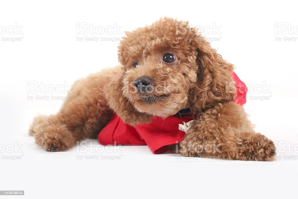 toy poodle royalty-free stock photo