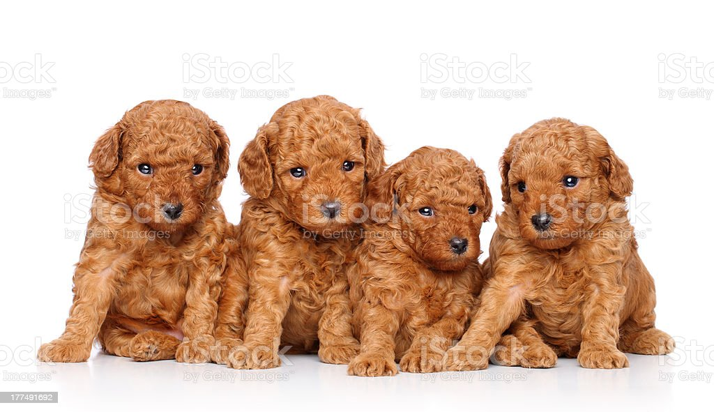 Toy poodle puppies royalty-free stock photo